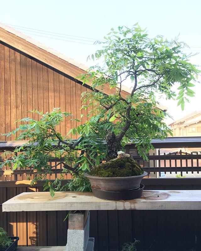 We covered the soil with towel. Its good way for protect dry out. Also  better to dunk into water end of towel. I did my wisteria today.表面が乾きやすい木の夏の対策は、湿ったタオルで覆うことです🌞🚿受け皿などに水を張って、そこにタオルの一部を浸しておくとより乾燥しにくくなります今日うちの藤の木にこの対策をしました️ 森友美.Tomomi Mori#bonsai#bonsaitree#bonsaiart#bonsaitree#bonsailove#bonsailovers#bonsaicare#bonsailife#bonsaigarden#bonsaiwork